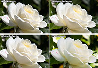 White Rose Results